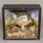 An early 20th century taxidermy specimen of a male sparrowhawk (Accipiter nisus) In a naturalistic