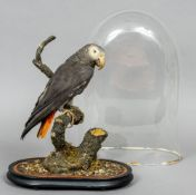 An old taxidermy specimen of an African Grey Parrot (Psittacus erithacus) In a naturalistic setting,