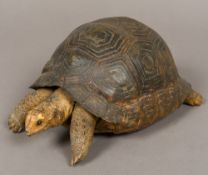 A stuffed preserved taxidermy specimen of a tortoise (Testudinidae) Naturalistically modelled.