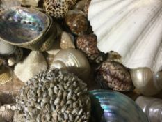 A collection of various sea shells