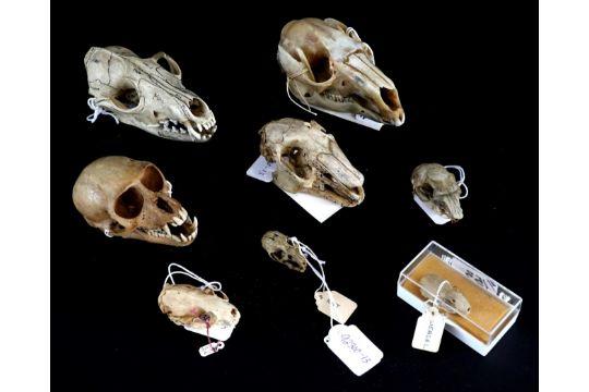 Skullsanatomy Rhesus Macaque Macaca Mulatta Weasel Hare Grey