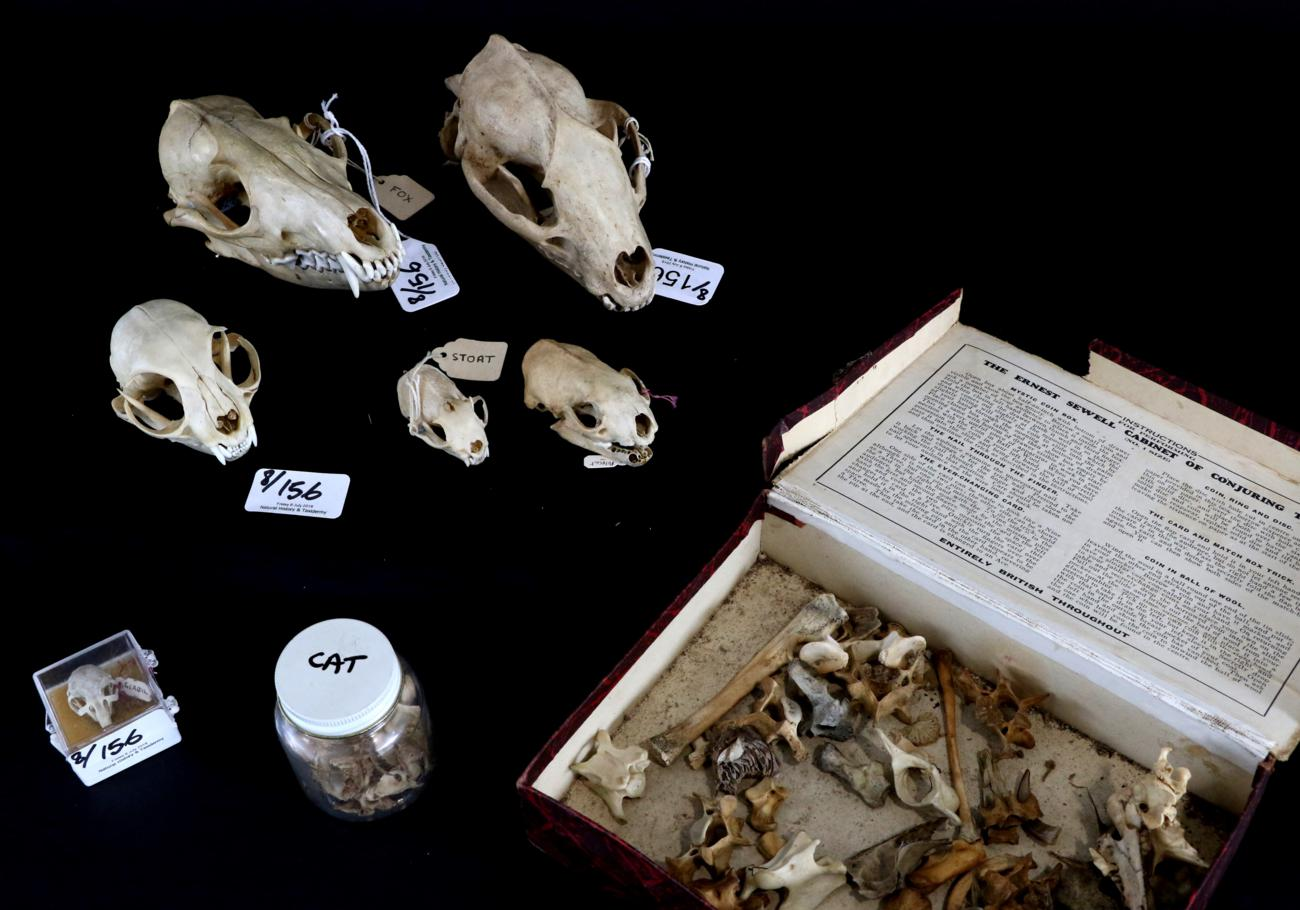 Skulls/Anatomy: Domestic Cats, Polecat, Stoat, Badger, Red Fox ...