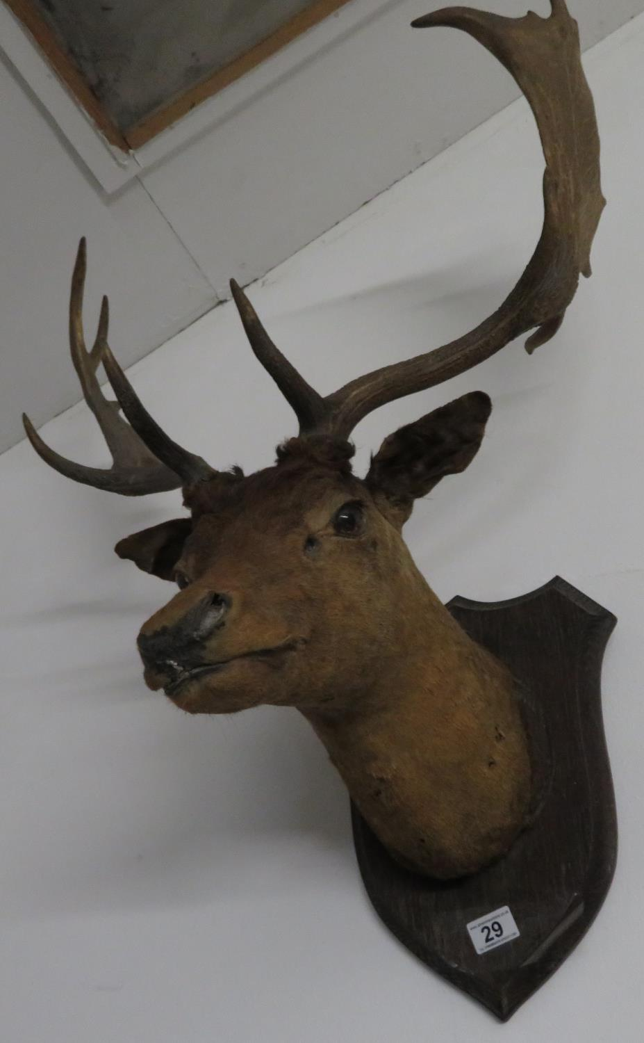 Lot 29 - Large stag's head