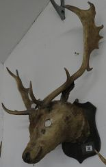 Lot 28 - Large stag's head - eyes missing