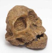 MuseumsreplikAbguss des Australopithecus (Kind von Taung). H.10cm.