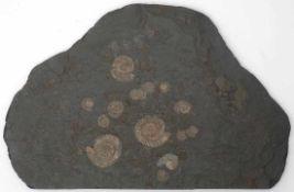 Ölschieferplatte mit AmmonitenFundort Holzmaden, präpariert. Mit Begleitschreiben. L.50cm.