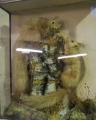 A Taxidermy Display of Two Red Squirrels, Perched on a naturalistic stump, enclosed in a glazed