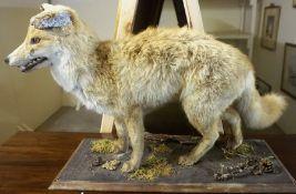 A Taxidermy Figure of a Fox, Raised on a naturalistic plinth, 47cm high, 101cm wide