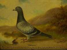 """Andrew Beer (1862-1954) """"Patience"""" Blue Cheq Cock Prize Racing Pigeon Oil on Canvas, dated 1931,"""
