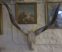 Taxidermy- A Set of Large Wall Mounting Ugandan Horns and Skull, 125cm high