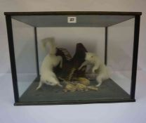 Two Taxidermy Albino Squirrels, Enclosed in a glazed display case, 37cm high, 52cm wide, 42cm deep