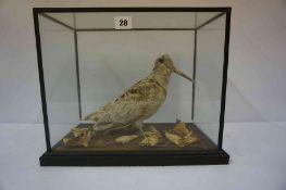 A Taxidermy Snipe, Enclosed in a glazed display case, 30cm high, 36cm wide, 22cm deep