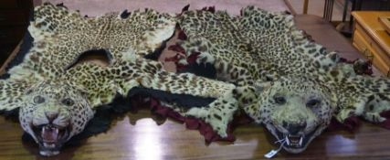 A Taxidermy Leopard Head Skin Rug and Shawl, (Panthera Pardus) pre 1947, (exempt from cites)