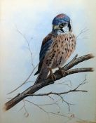 Mark Chester (20th Century) Watercolour Falcon on branch, signed lower right, 36 x 27 cm