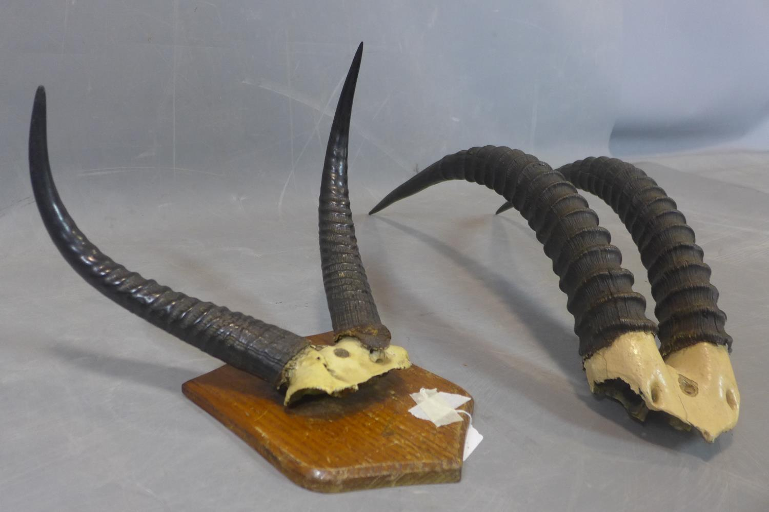Lot 191 - Antelope antlers mounted on an oak shield, bearing label for 'G.A. Topp, Taxidermist, London