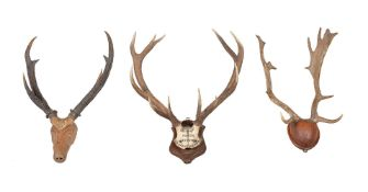 A set of half skull mounted twelve point antlers