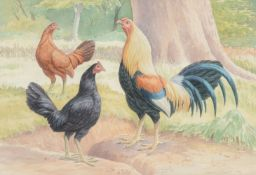 James Sinnott (20th century) Spanish Game cock with Black and Brown hens Watercolour and pencil