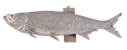A preserved model of a tarpon, Megalops atlanticus, mounted on a wooden wall-mount, approx 178cm