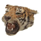 ϒ A preserved tiger head, Panthera tigris, late 19th/early 20th century