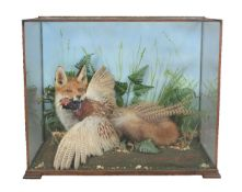 A preserved red fox carrying a pheasant in a naturalistic setting, Vulpes vulpes & Phasianus