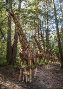 Five driftwood models of giraffes
