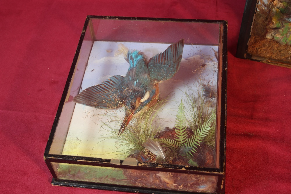 Lot 54 - Two taxidermy cased studies of kingfishers