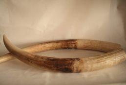 Paire de défenses brutes d'éléphant d'Afrique - Longueur : 1,17/1,18 cm, [...]
