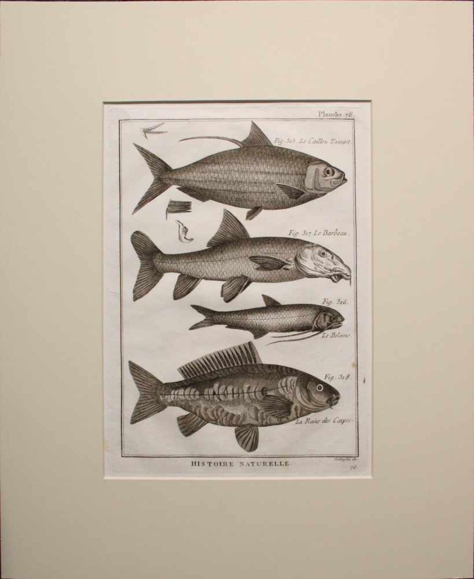 Unbekannter Künstler Barocke Fisch-Grafik Radierung 31 x 23 cm