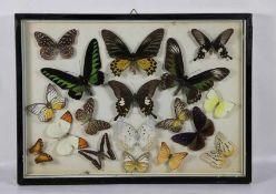 Schmetterlings-SchaukastenSchmetterlingsbild, flacher Schaukasten mit 18 versch. Schmetterlingen,