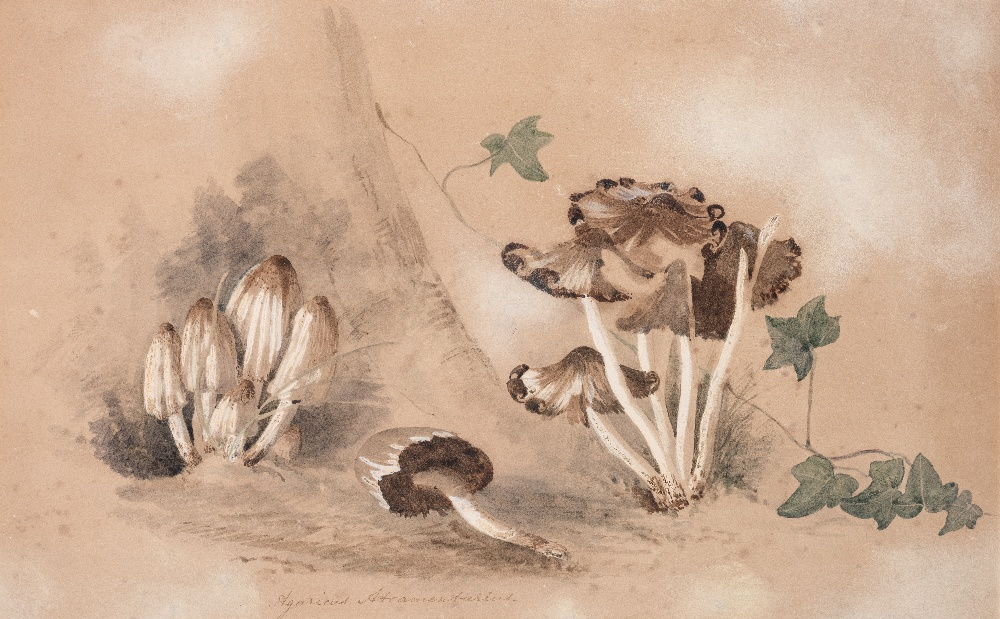 Lot 102 - BRITISH BOTANICAL SCHOOL (19th CENTURY) STUDY OF AN INK CAP MUSHROOM titled in latin l.l. coloured