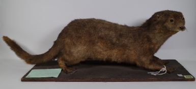 Taxidermy; an early 20th century stuffed otter on pine plinth base, by E.
