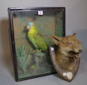 Taxidermy; a cased blue crowned parakeet,