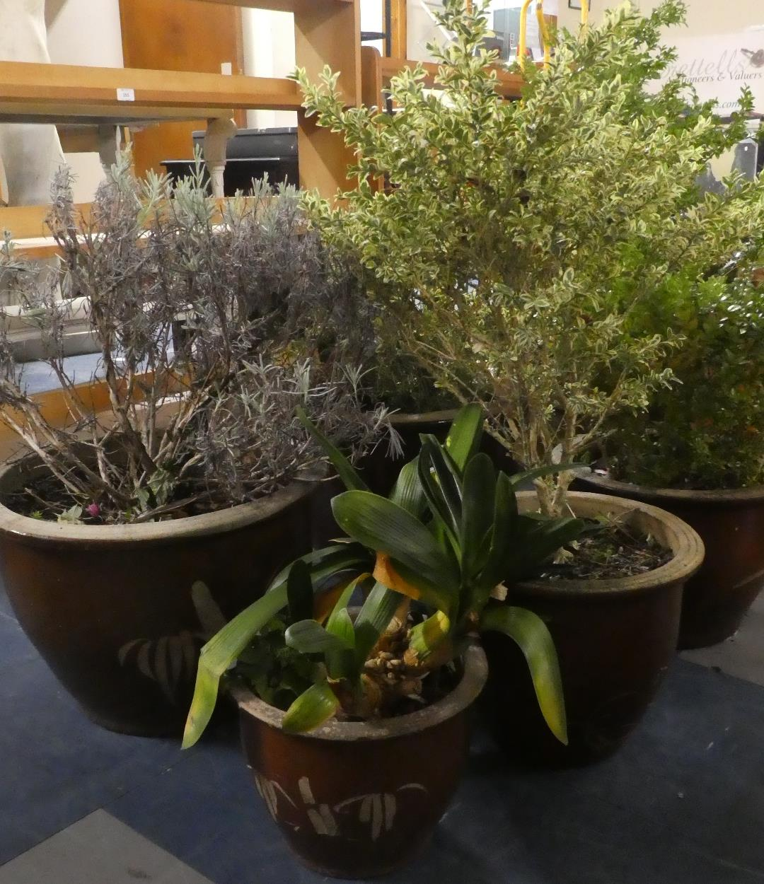 Lot 455 - A Collection of Five Glazed Stoneware Patio Planters containing Shrubs