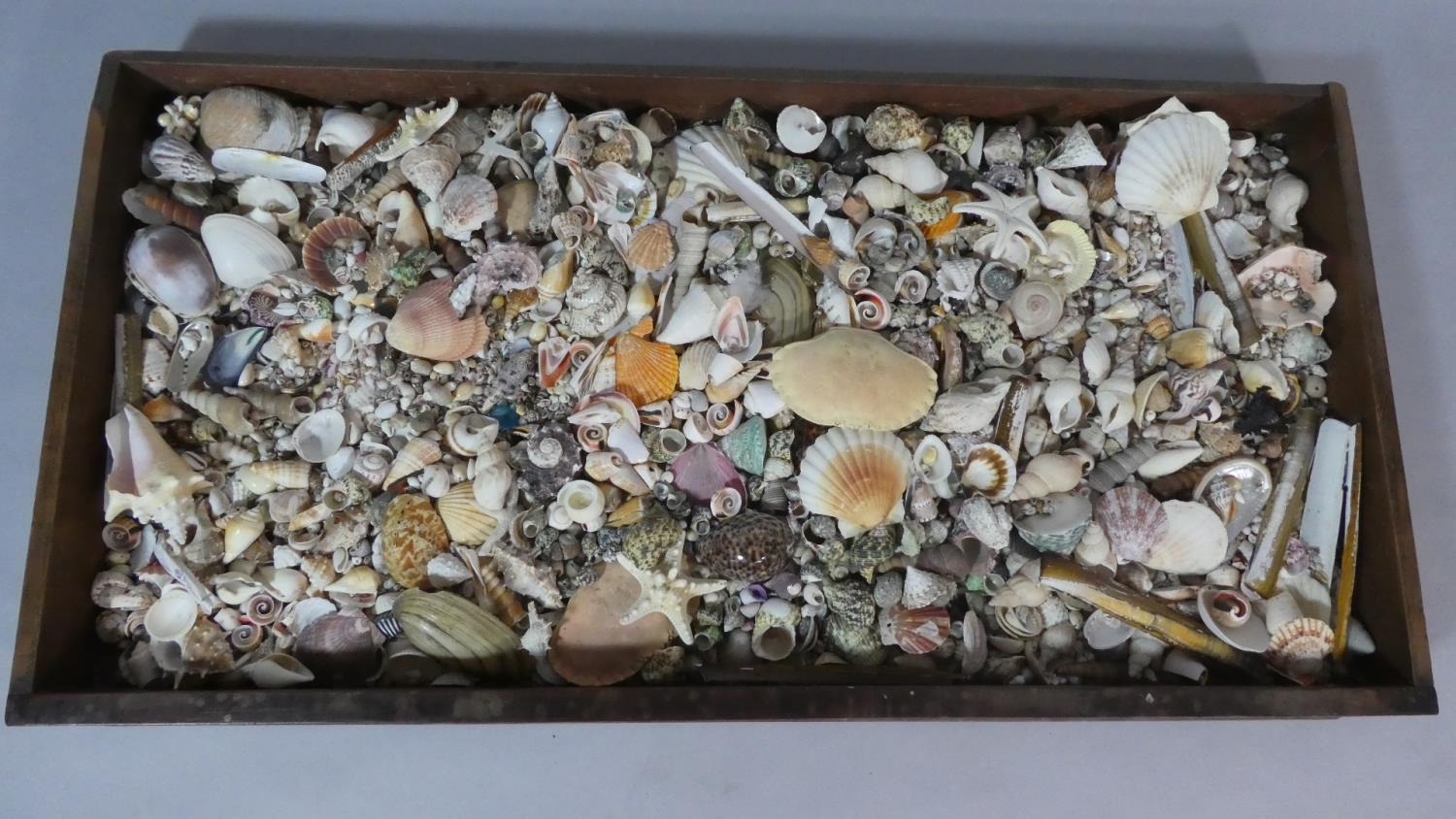 Lot 49 - A Large Collection of Seashells in a Wooden Tray. 50cm x 100cm