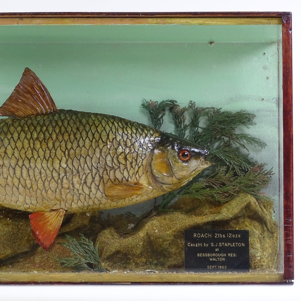 Lot 20 - Taxidermy, a roach, 2lb 12oz caught September 1962, in glazed case, length 57cm, height 31cm