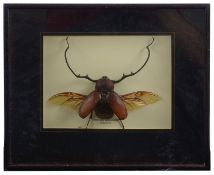 Taxidermy: Three cases of tropical beetles (3)