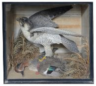 Taxidermy: A Victorian peregrine falcon with a dead teal