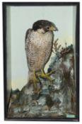 Taxidermy: A Victorian peregrine falcon