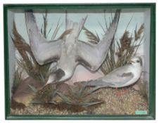 Taxidermy: Early 20th century pair of Arctic Terns