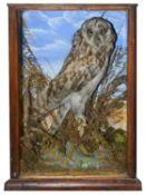 Taxidermy: A Victorian tawny owl by G.F. Tucker