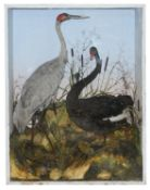Taxidermy: A Victorian black swan and a crane