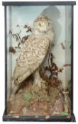 Taxidermy: An early 20th century snowy owl