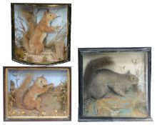 Taxidermy: Three Victorian cases of squirrels