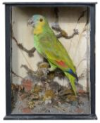 Taxidermy: A Victorian tropical green parrot