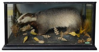 Taxidermy: A Victorian badger