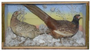 Taxidermy: A Victorian pair of common pheasants