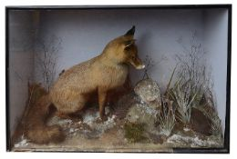 Taxidermy: A Victorian red box fox and a moorhen