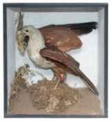 Taxidermy: A Victorian tropical bird of prey and a chameleon