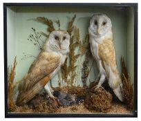 Taxidermy: A Victorian case of two barn owls