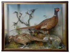 Taxidermy: A Victorian cased pair of common pheasants